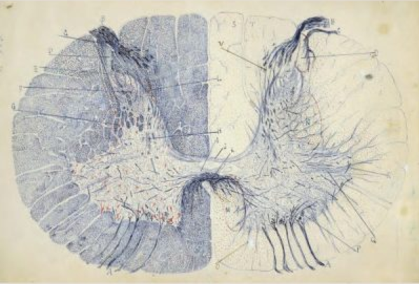 Cajal illustration of the brain