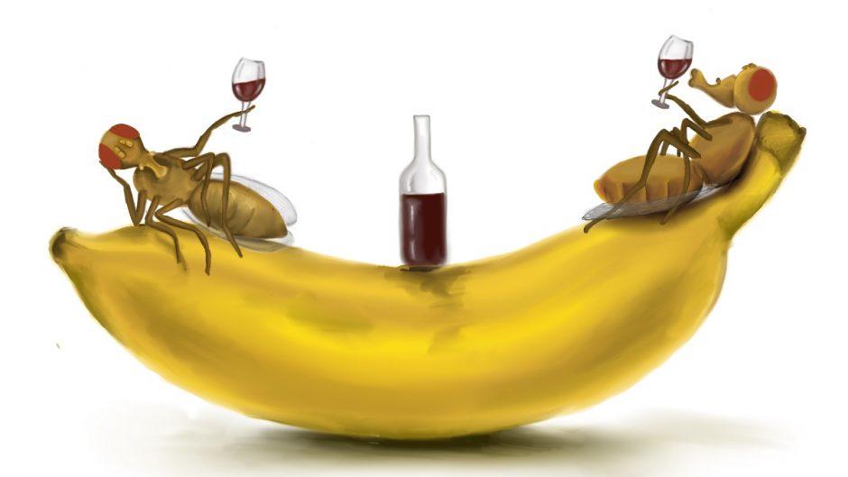 Fruit flies feast on a banana