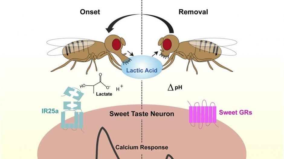 Calcium response, fruit fly neurons